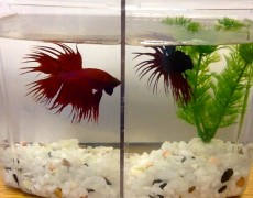 Betta Fish Project