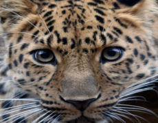 The Amur Leopard, An Endangered Species, by Ella B